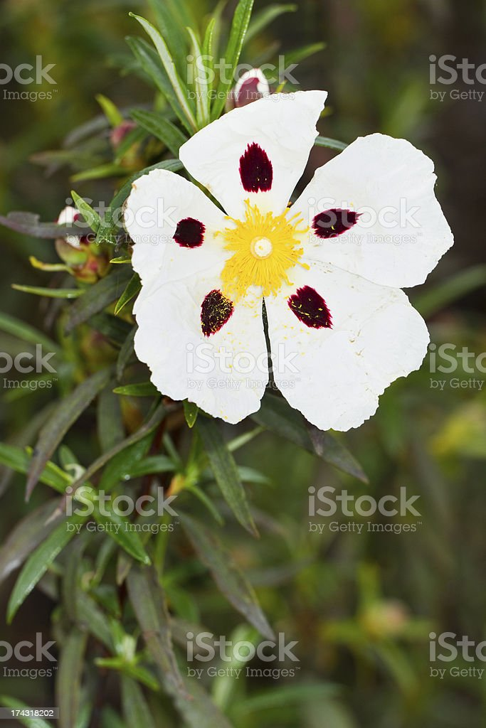 Cistus ladanifer flower royalty-free stock photo