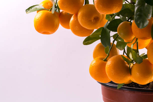 Citrofortunella microcarpa - Calamondin tree stock photo
