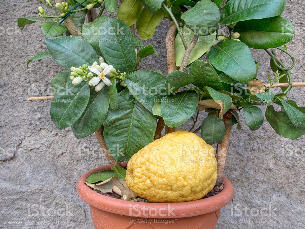 Citron, unusual citrus plant with fruit. Citrus medica. stock photo