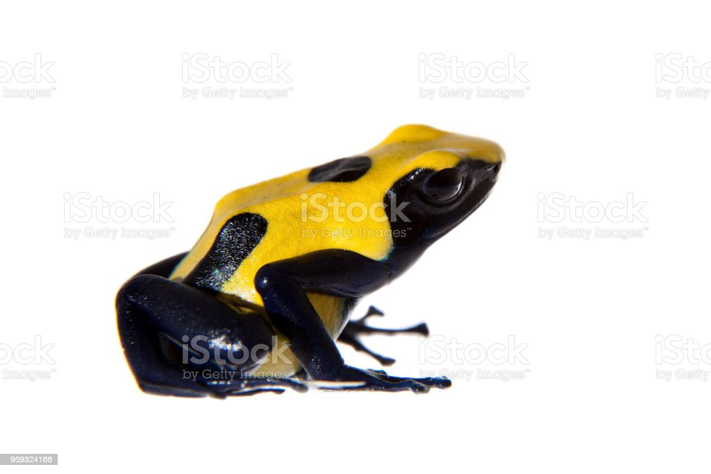 Citronella Dyeing Poison dart frogling, Dendrobates tinctorius, on white stock photo