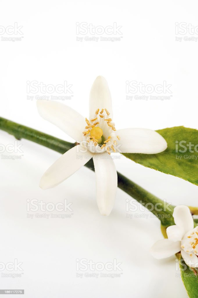 Citrus blossom – Foto