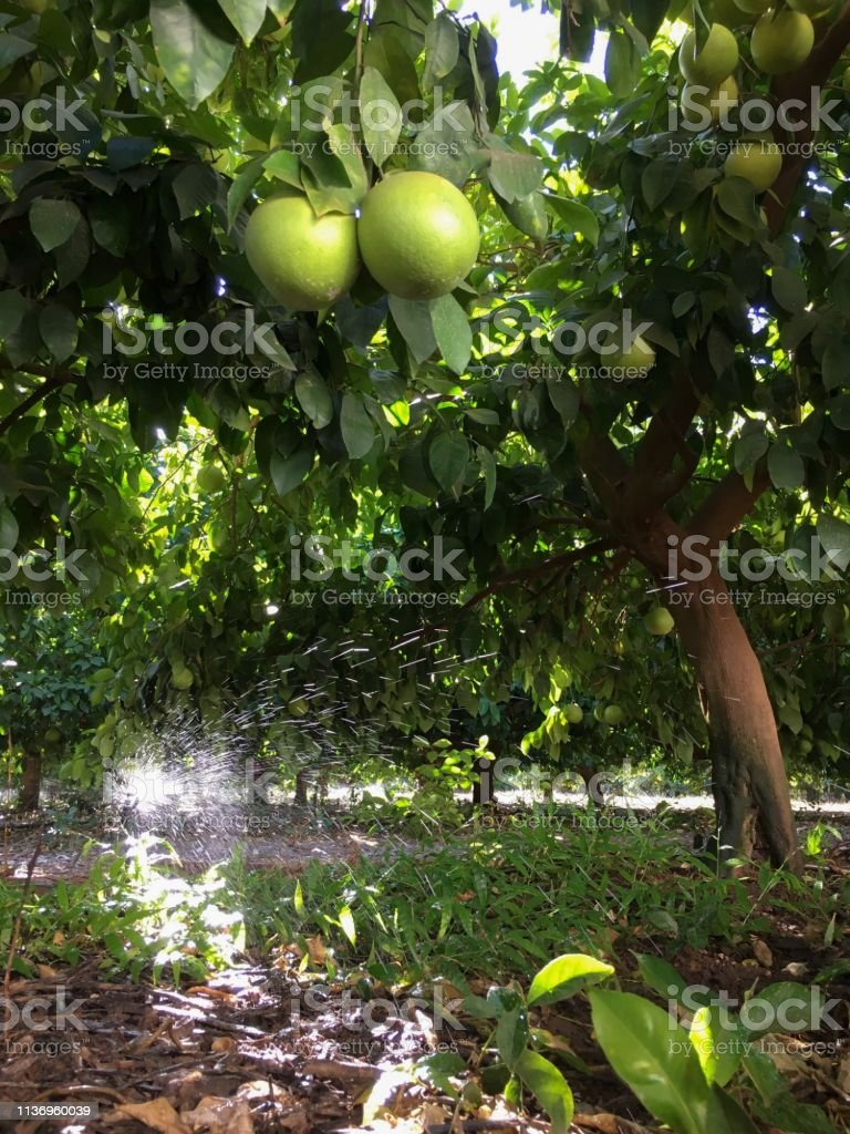 Citrus Farming stock photo