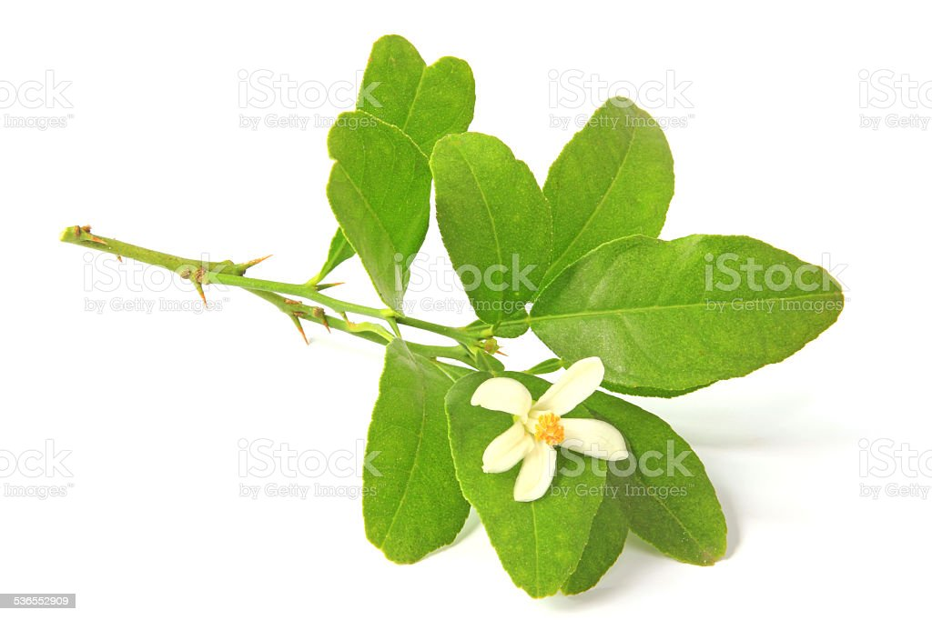 Citrus flower stock photo