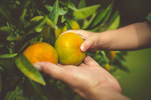 Citrus fruit tree in summer