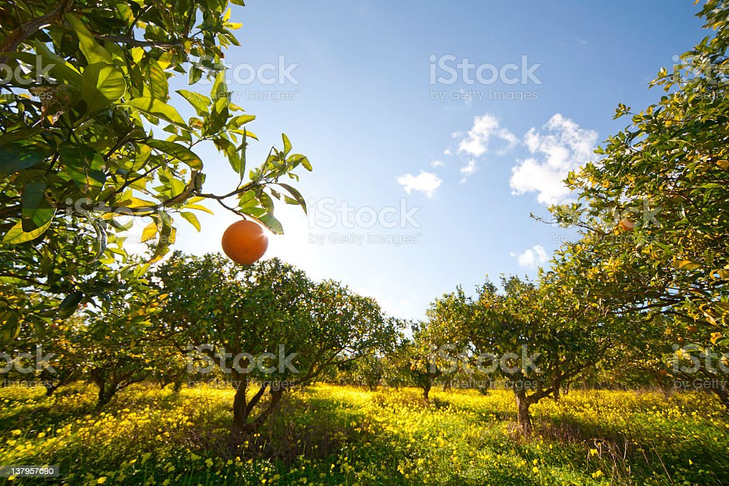 Agrumi grove - foto stock