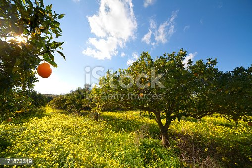 Cultivation of oranges