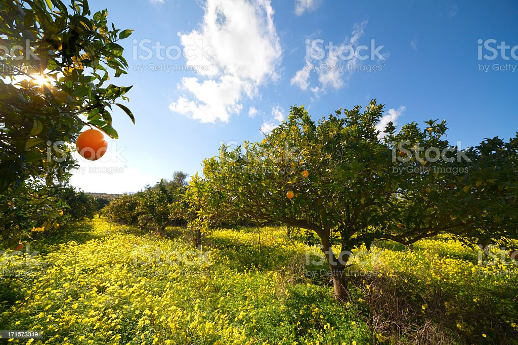 Citrus grove stock photo