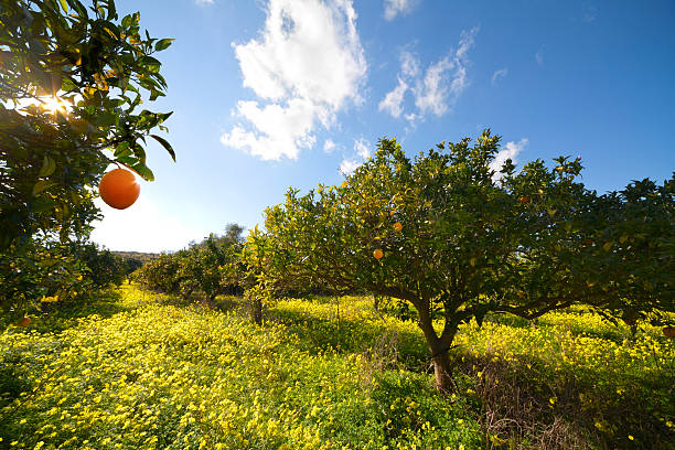 agrumi grove - frutteto foto e immagini stock