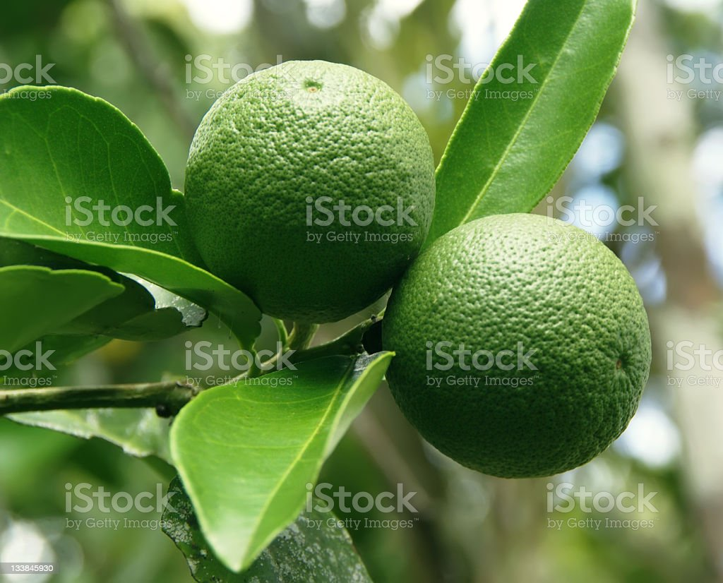 Citrus Growing on the Tree royalty-free stock photo