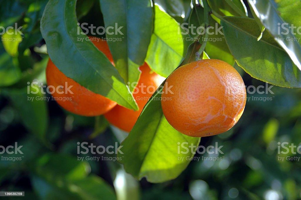 Citrus Growing stock photo