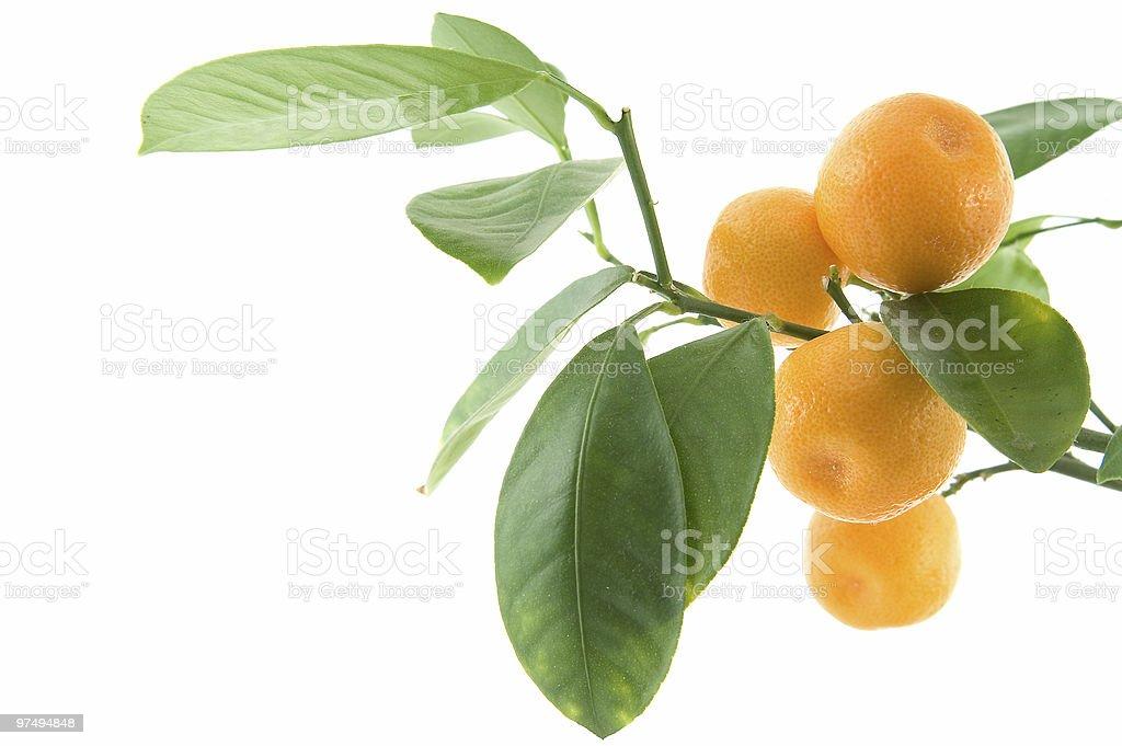 citrus leaf stock photo