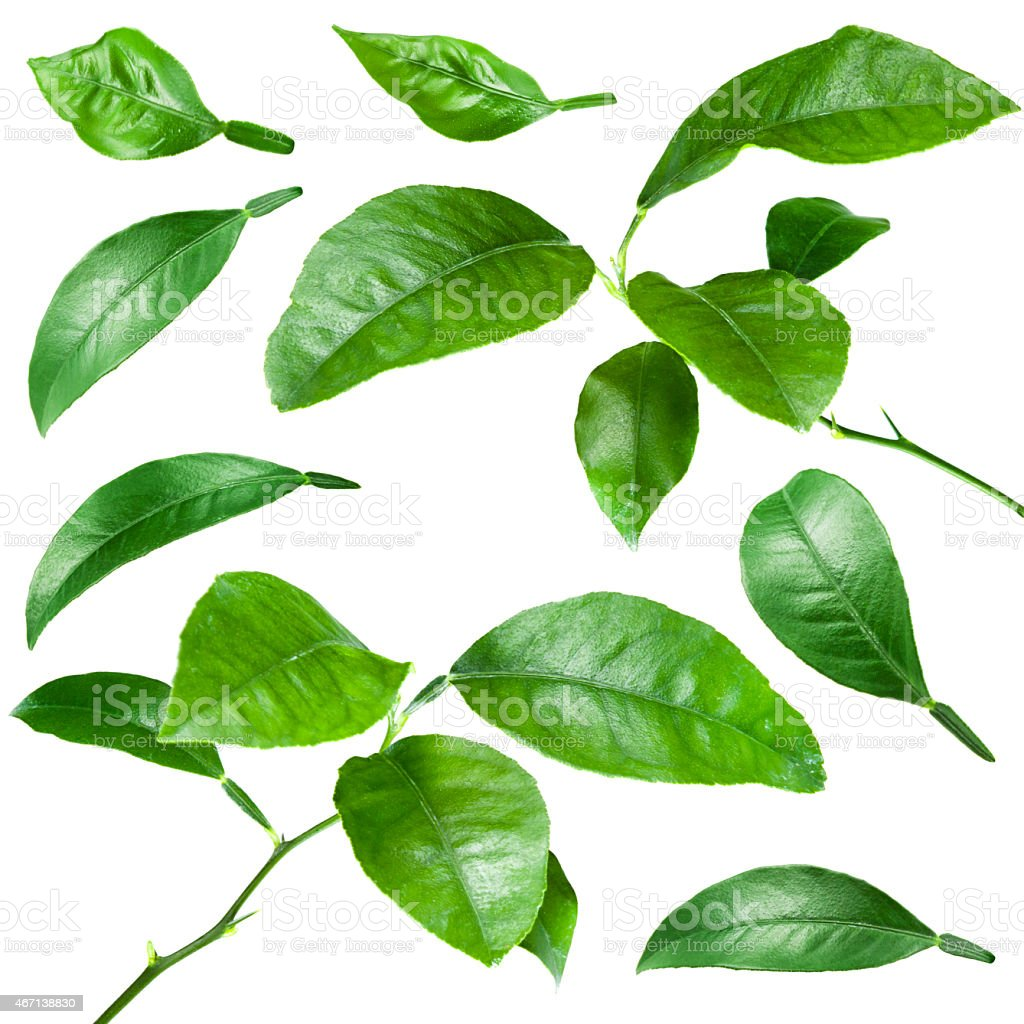 Citrus leaves isolated on white background. Collection stock photo