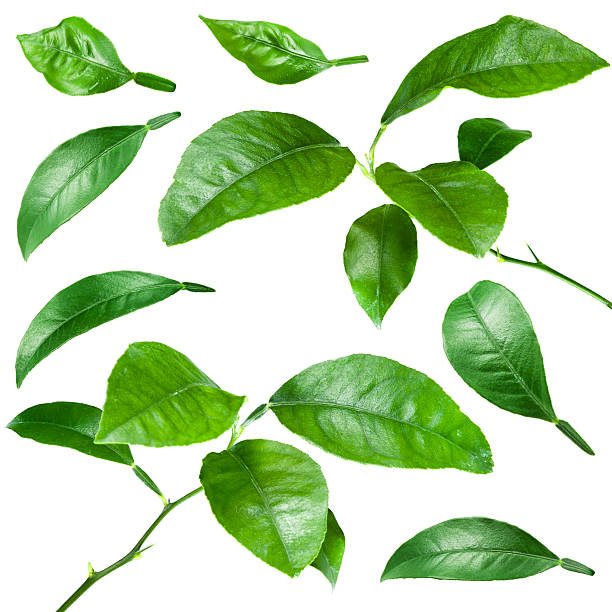 citrus leaves isolated on white background. collection - branch plant part stock pictures, royalty-free photos & images