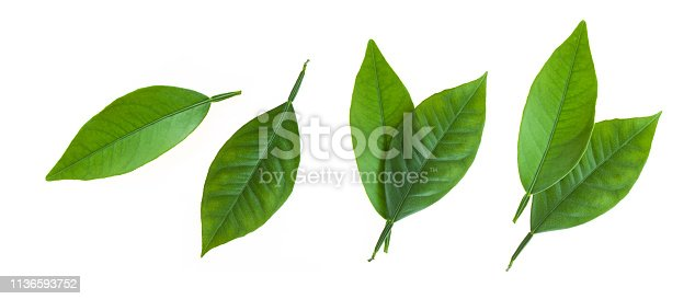 Citrus leaves isolated on white background. Collection of fruit leaves