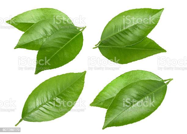 Citrus leaves isolated without shadow picture id607286170?b=1&k=6&m=607286170&s=612x612&h=ykfcrbf9onosnumbzswsjeuacoeamqpi0mecgew8x6a=