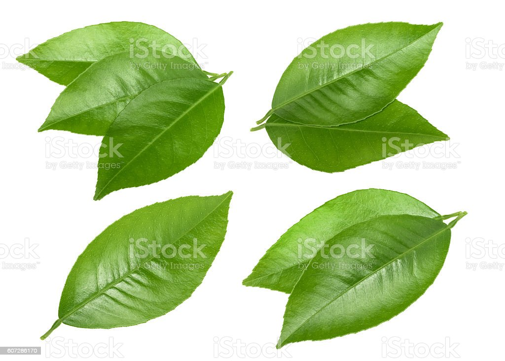 Citrus leaves isolated without shadow stock photo