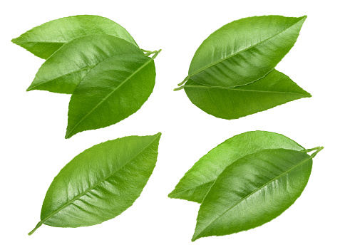 Citrus Leaves Isolated Without Shadow - Fotografias de stock e mais imagens de Beleza