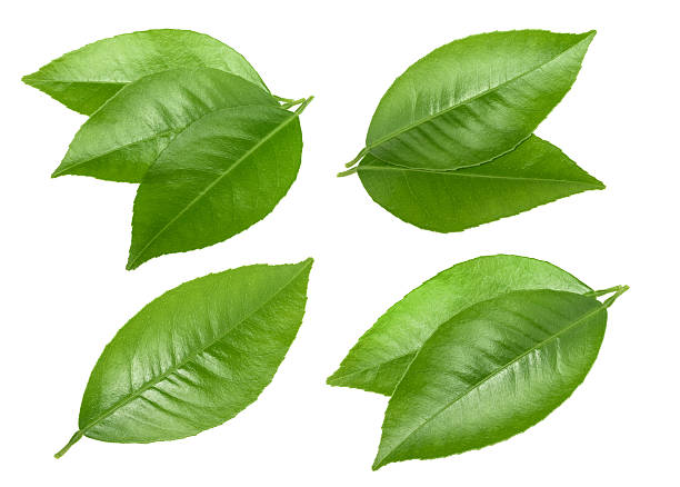 citrus leaves isolated without shadow - leaf 個照片及圖片檔