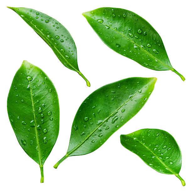citrus leaves with drops isolated on a white background - islak stok fotoğraflar ve resimler