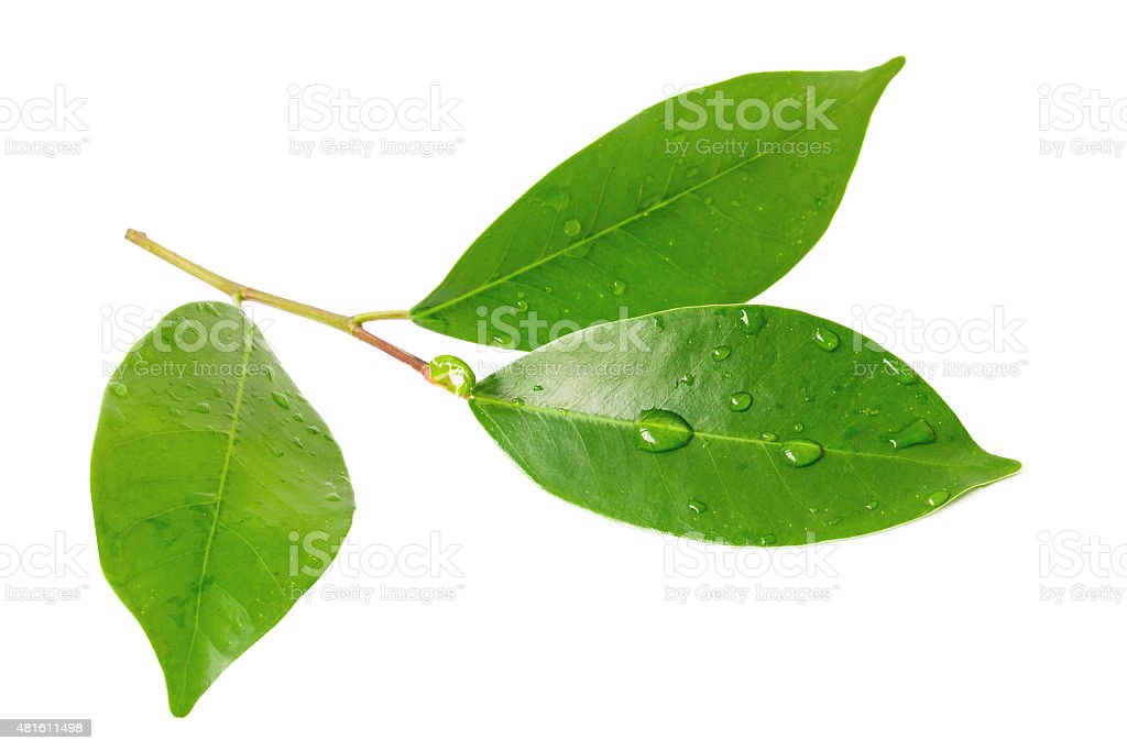 Citrus leaves with drops isolated on a white background stock photo