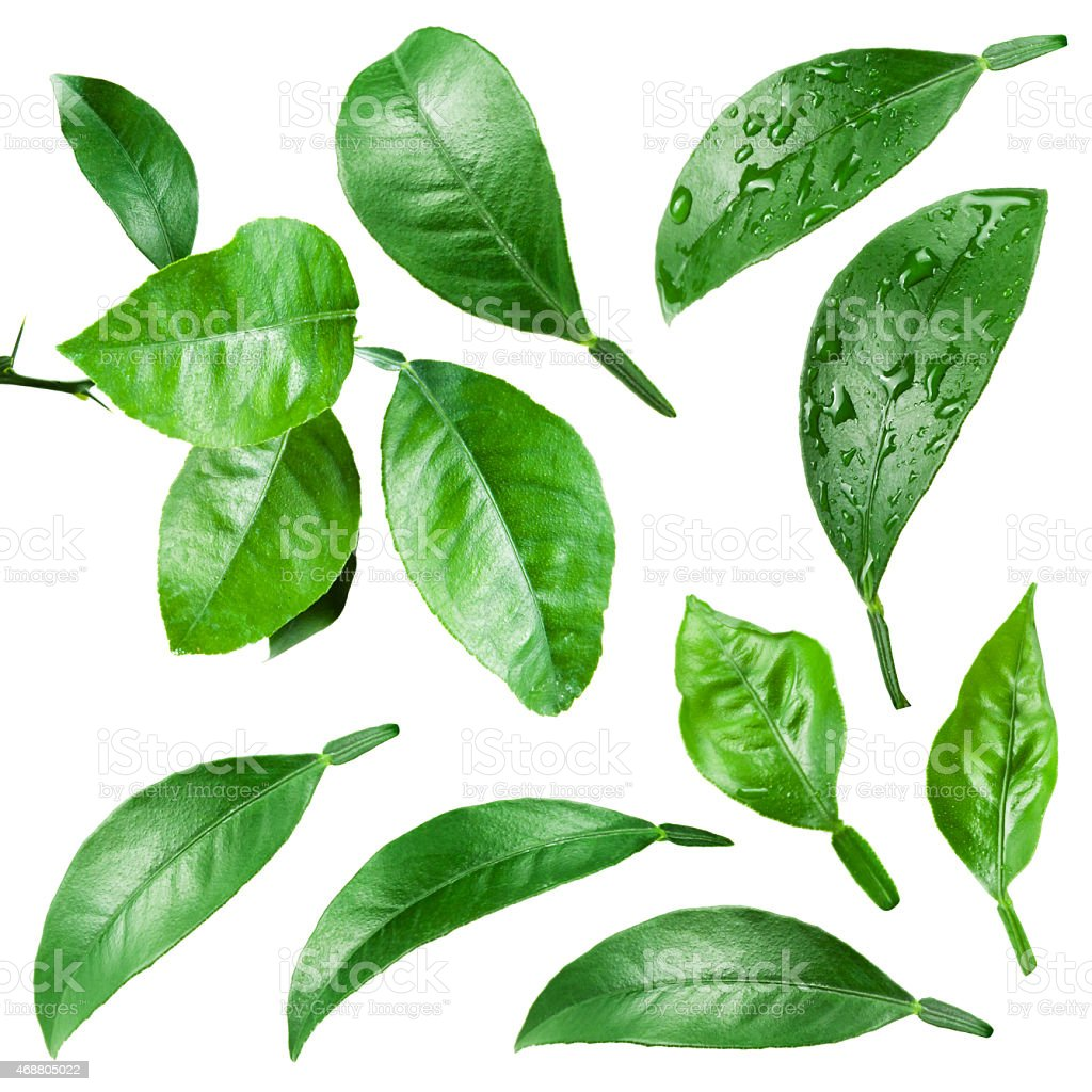 Citrus leaves with drops isolated on white background. stock photo