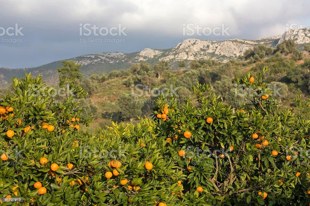 citrus mandarin fruit, organic food and drink photo royalty-free stock photo
