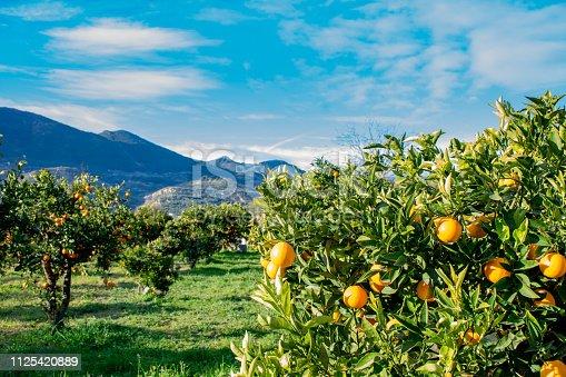 Naranjas y limones con hojas en el árbol