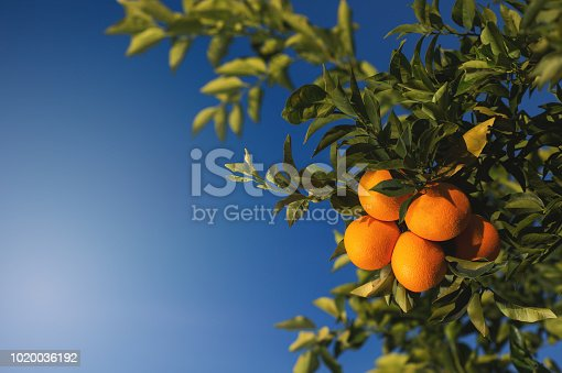 Citrus Oranges Ripe Fruit hanging on an orange tree with blue background Cederberg Western Cape South Africa