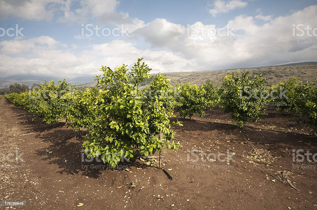 citrus orchard at northern Israel royalty-free stock photo