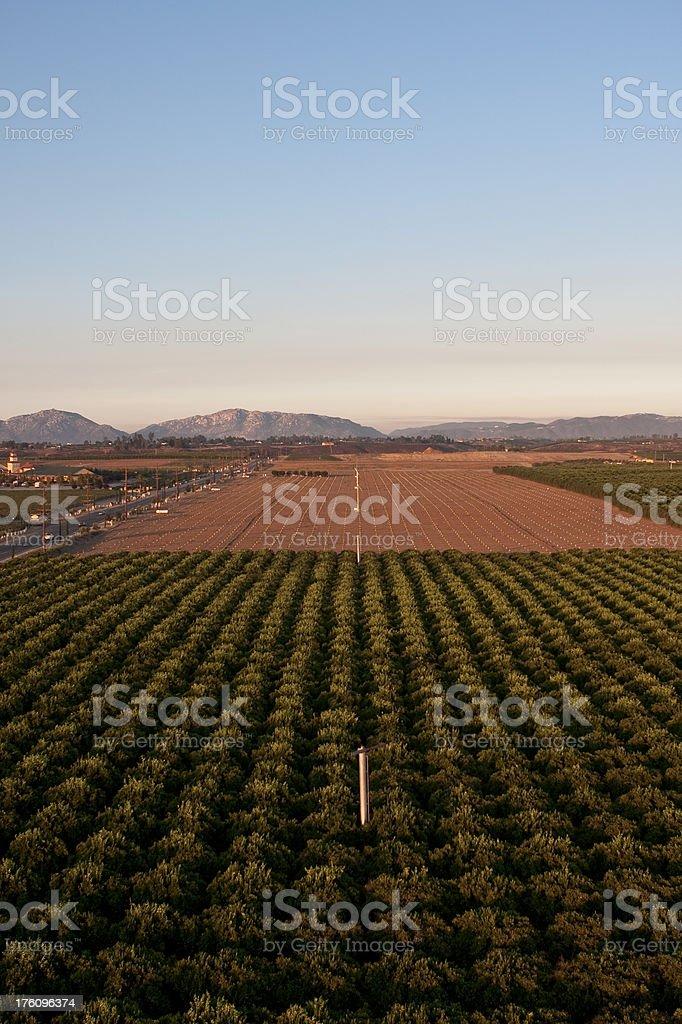 Citrus Orchard royalty-free stock photo