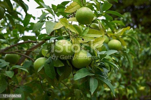 unripe grape fruit