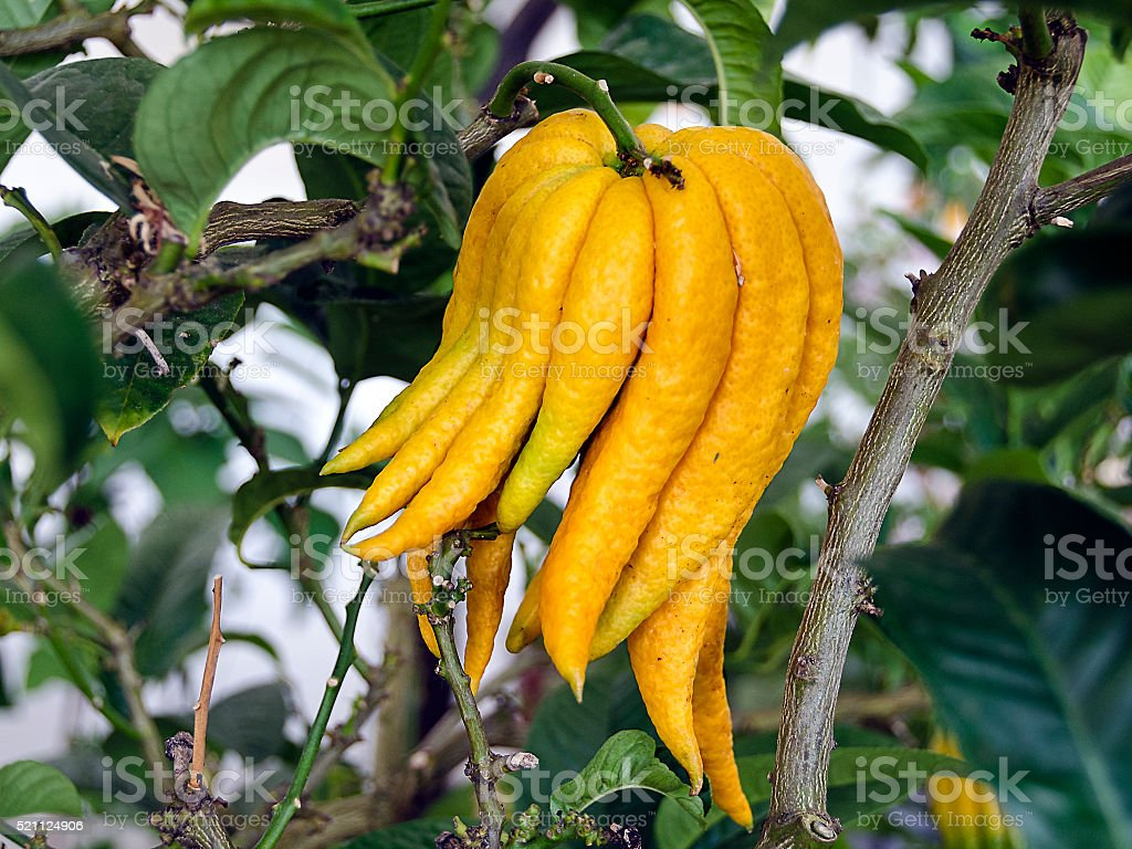 citrus plant 'Buddhas hand' stock photo