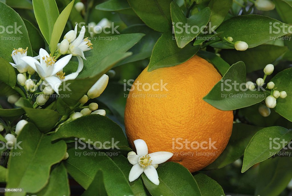 Citrus sinensis orange with white blossoms stock photo