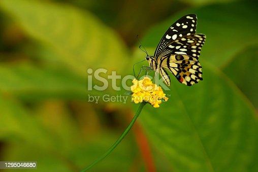 Butterfly garden: Single Citrus swallowtail (Papilio demodocus) on top of a yellow lantana flower head.
