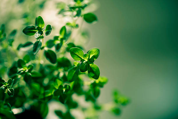 citrus thyme - thyme stock photos and pictures