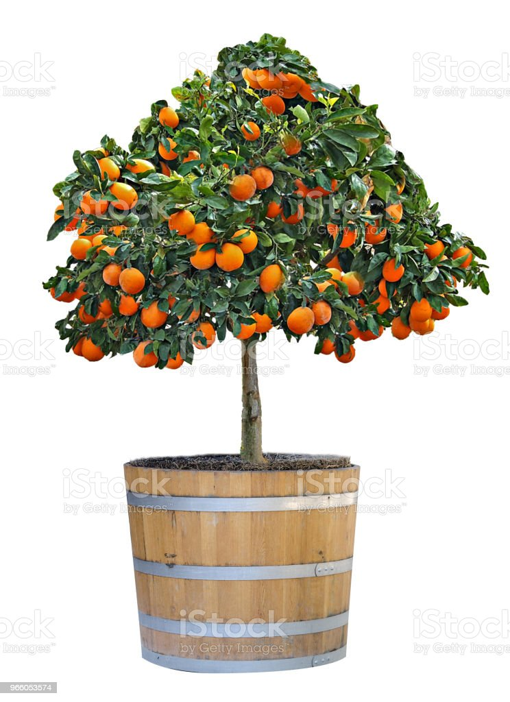 Citrus boom in pot - Royalty-free Achtergrond - Thema Stockfoto