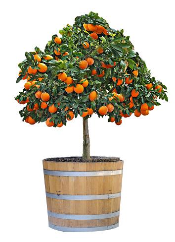 Citrus Boom In Pot Stockfoto en meer beelden van Achtergrond - Thema