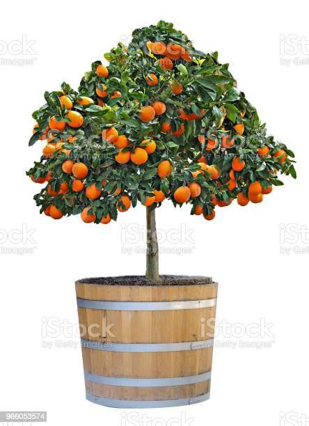 Citrus Träd I Kruka-foton och fler bilder på Bildbakgrund