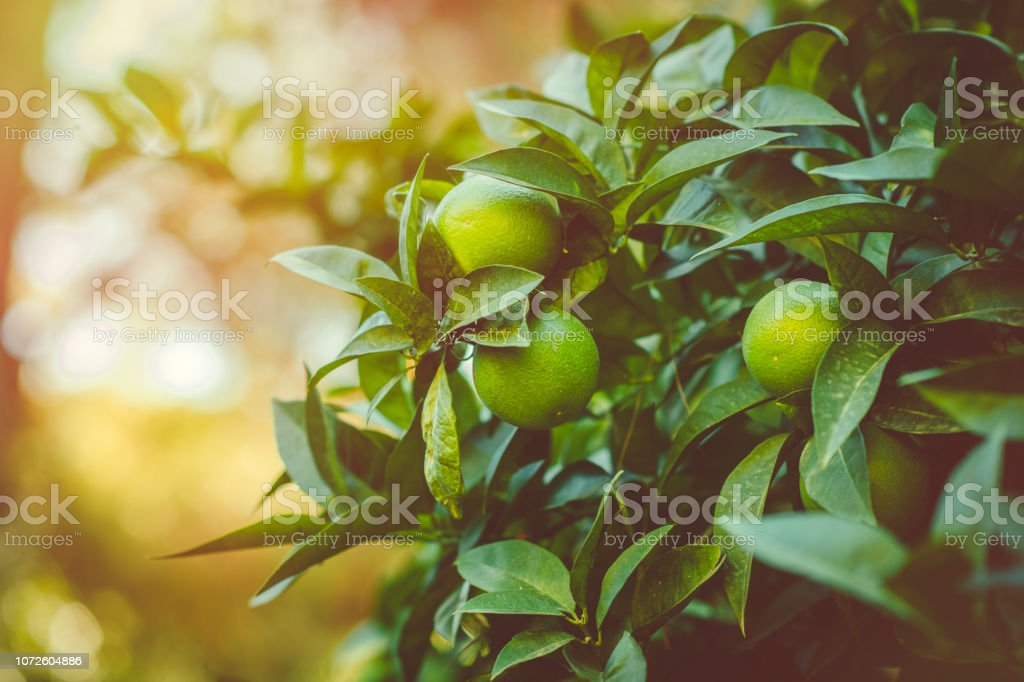 Citrus tree stock photo