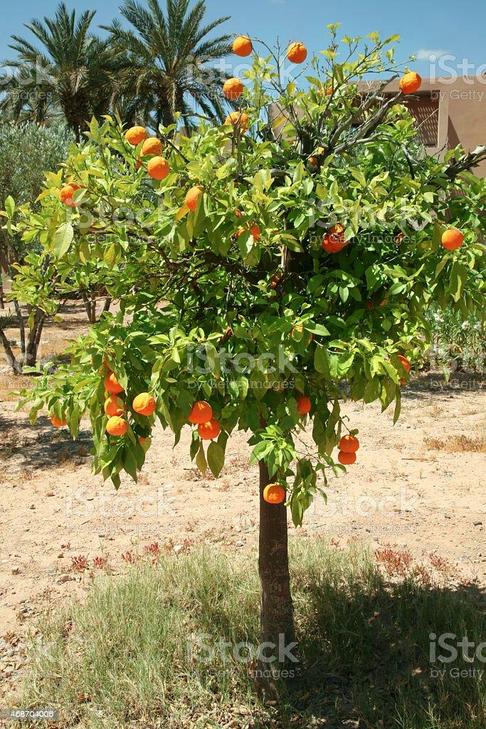 small orange tree with fruit