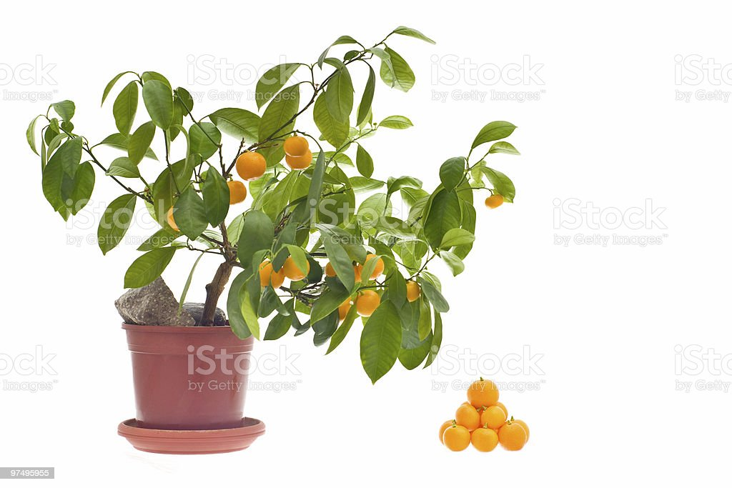 citrus tree royalty-free stock photo