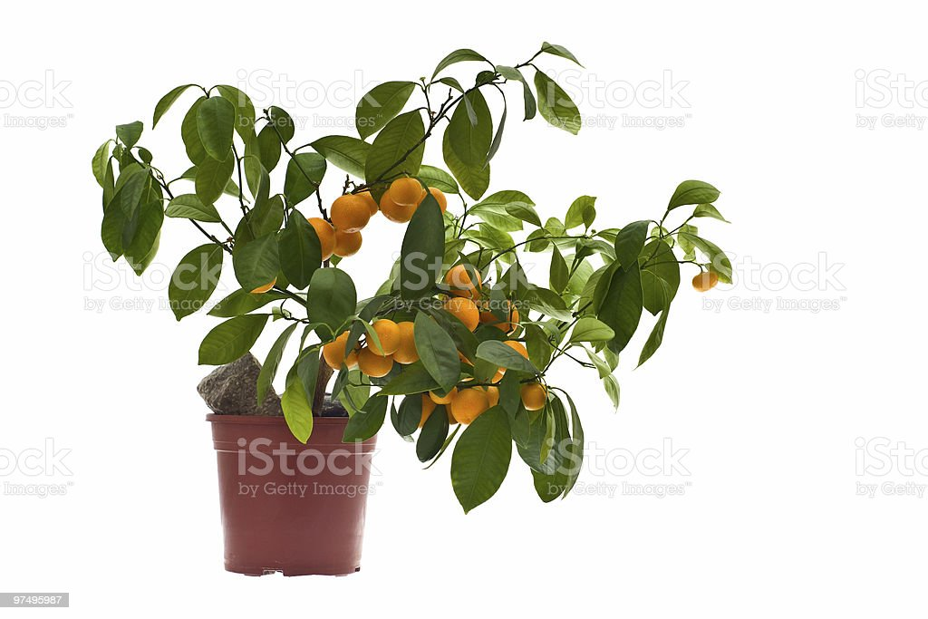citrus tree royalty-free stock photo