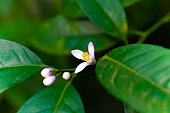Citrus tree with flowers. lemon tree. citrus blossoms.