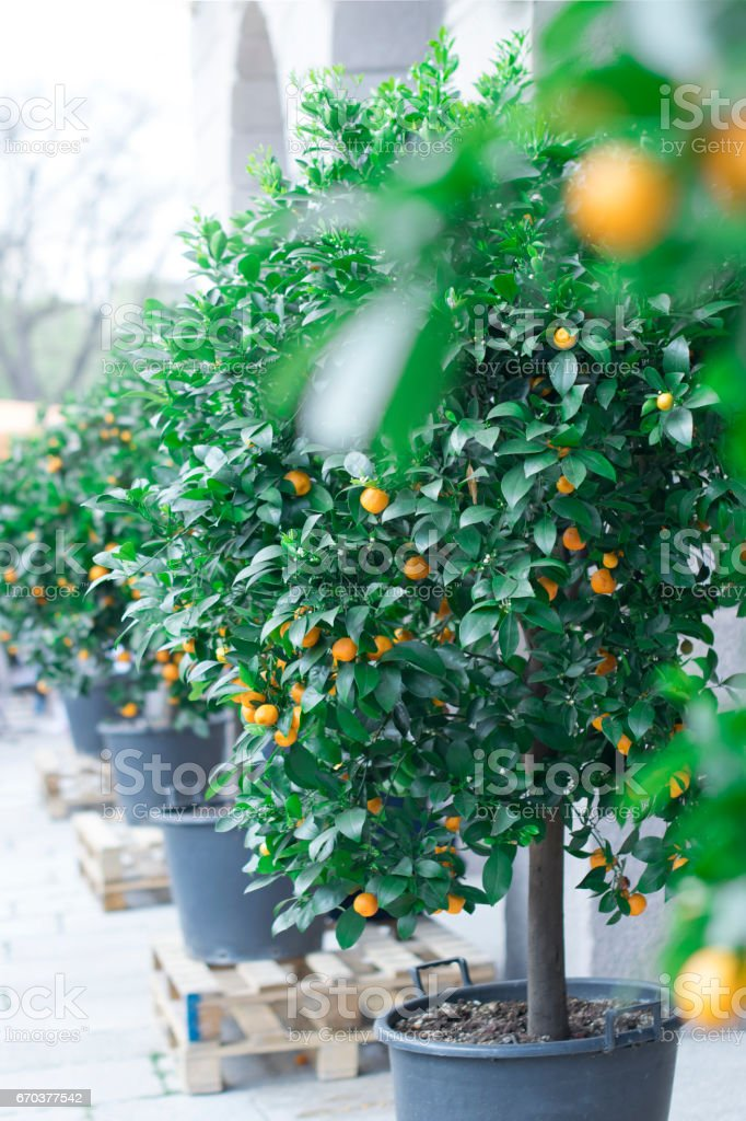 Fotografía de Callejón De árboles Cítricos Árboles De Mandarinas En ...