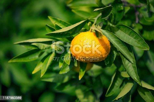 Citrus unshiu is a seedless and easy-peeling citrus species, also known as unshu mikan, cold hardy mandarin, satsuma mandarin, satsuma orange, naartjie, and tangerine.