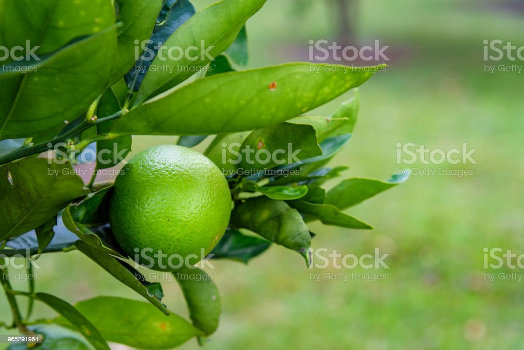Citrus with limes royalty-free stock photo
