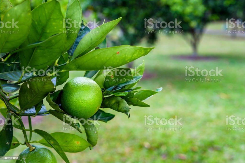 Citrus with limes zbiór zdjęć royalty-free