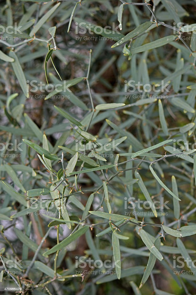 Citrus-glauca, Eremocitrus glauca, Desert lime royalty-free stock photo