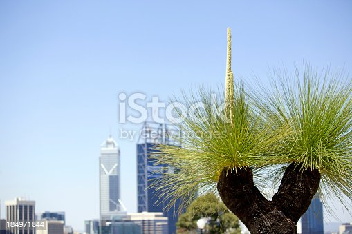 City buildings of Perth, Australia, with grass tree (Xanthorrhoea) in the foreground