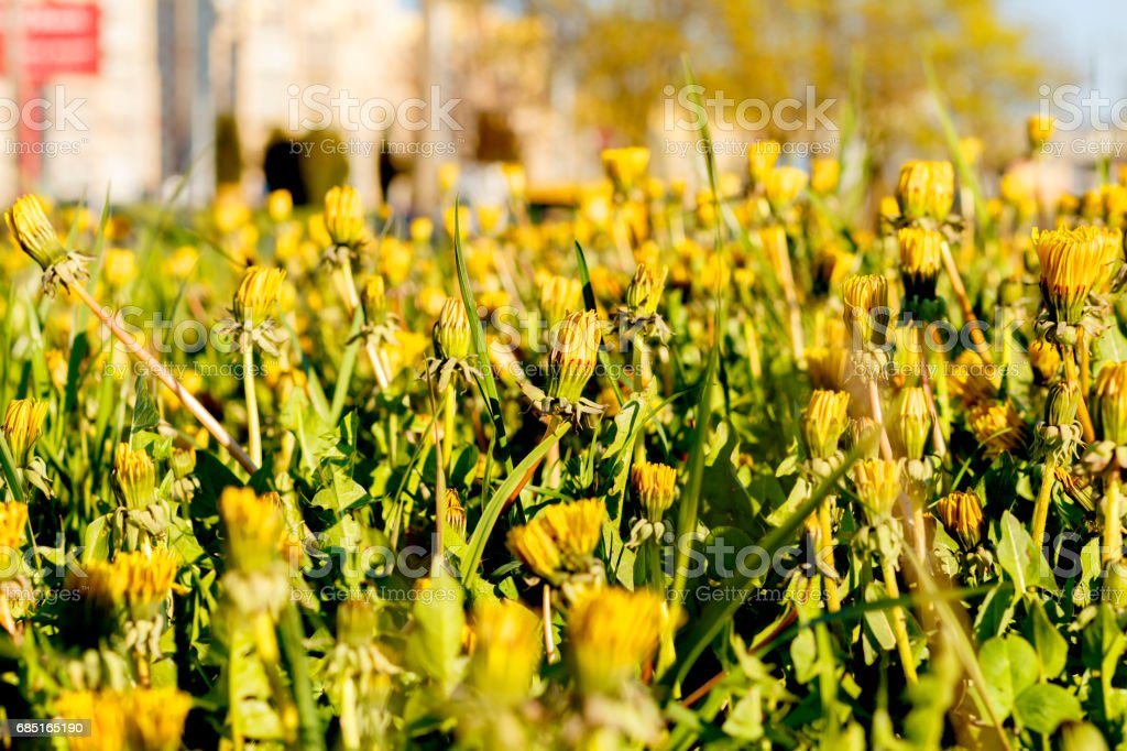 City Dandelions on a lawn royalty-free stock photo